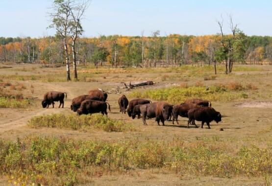 Bizony w Parku Narodowym Elk Island