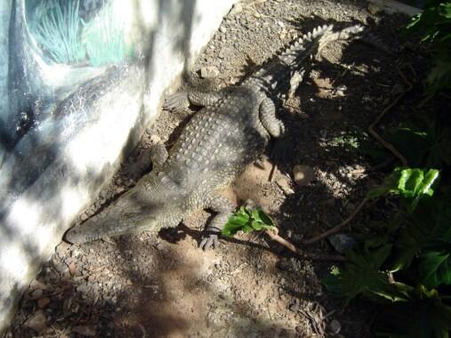 Krokodyl w Parku Snake