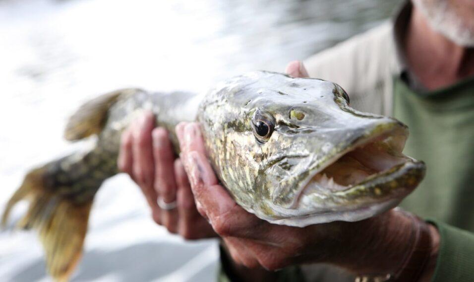 Okresy ochronne ryb – o jakich ograniczeniach należy pamiętać?