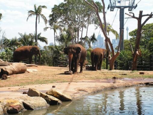 Słonie w Taronga Zoo
