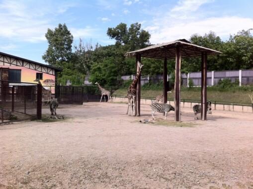 Zebry i żyrafy w Bratysławskim ZOO
